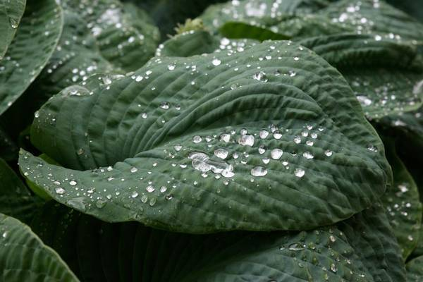 Waterdrops_on_hosta